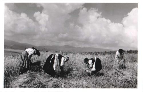 Csik vármegye:aratás.1943