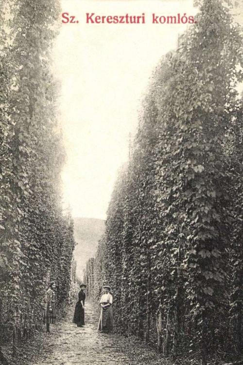 Székelykeresztúr:komló ültetvény,1908.